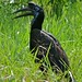 Small photo of Abyssinian Ground Hornbill (Bucorvus abyssinicus) female