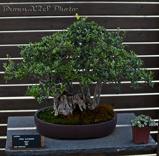 Bonsai-Olea Europaea-Jardi Botanic de BCN 26
