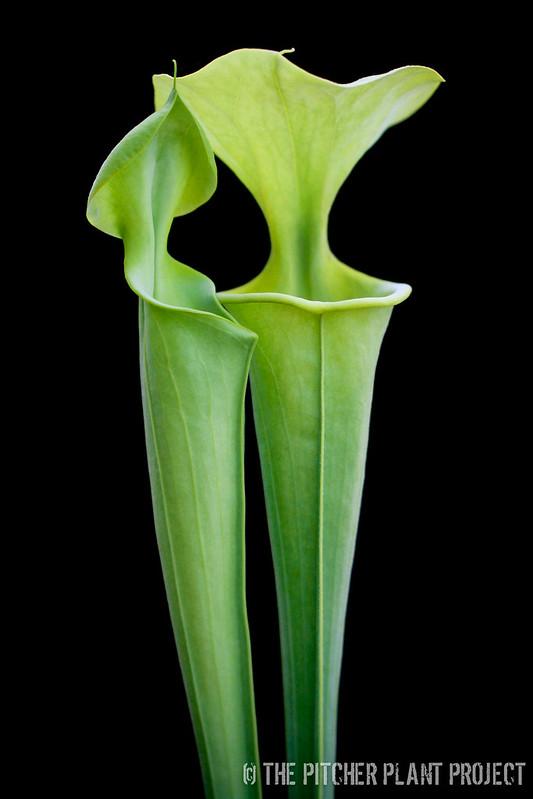 Sarracenia flava AF - Colquitt Co. GA