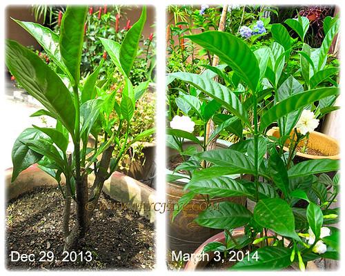 Tabernaemontana divaricata cv. Flore Pleno (Crepe Gardenia, Crepe Jasmine)