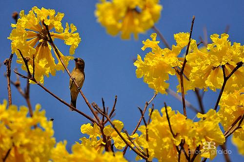 colombia guayacan arauca floramarillo faunadelosllanos