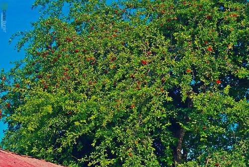 red tree verde green planta azul arbol mao campo hd acerola amina rd republicadominicana cereza fruto valverde carlosduran haltadefinicion