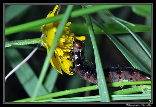 Chenille de la noctuelle satellite (Eupsilia transversa)
