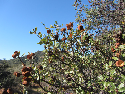 oak with acorn hats