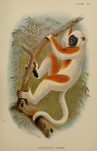 015-Coquerel de Sifaka-A hand-book  to the primates-Volume 1-1896- Henry Ogg Forbes