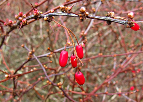 03-02-12 Last Year's Berries, This Year's Buds by roswellsgirl