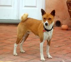 animal sports(0.0), akita inu(0.0), akita(0.0), shikoku(0.0), east siberian laika(0.0), kishu(0.0), dog breed(1.0), animal(1.0), dog(1.0), shiba inu(1.0), carolina dog(1.0), canaan dog(1.0), pet(1.0), korean jindo dog(1.0), norwegian lundehund(1.0), carnivoran(1.0), basenji(1.0),