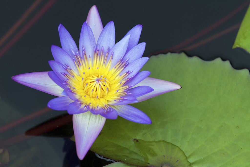 Purple Lotus Flower Succulent And Cactus Fm Forums