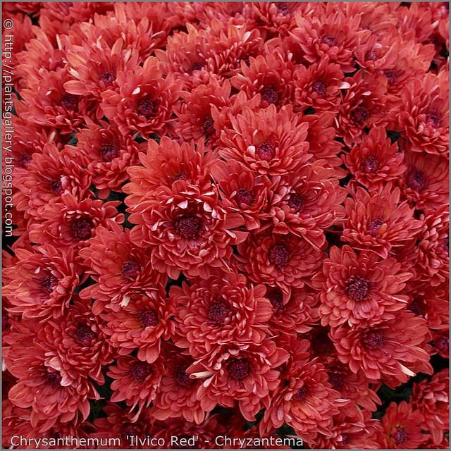Chrysanthemum 'Ilvico Red' - Chryzantema