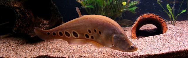 Индийский глазчатый нож (Chitala ornata), фото рыбы фотография картинка