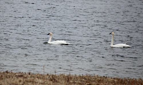 Trumpeter Swans - Adults by JKissnHug