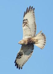 UK Birds Rare&Scarce