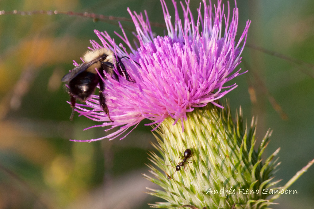 Bee & Ant on Canada Thistle (Cirsium arvense)-17.jpg