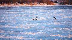 Ice Jam: Crows - Corvus cornix + Corvus corone (48°12' N 16°26' E)