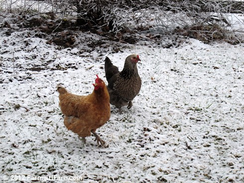 Chickens on snow 1 - FarmgirlFare.com