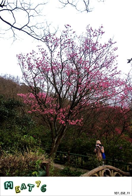 【遊記】陽明山國家公園|櫻花乍現在粉紅意境的花花世界26
