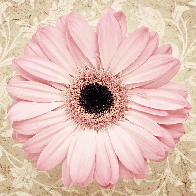 Vintage Gerbera Daisy   Flickr - Photo Sharing!