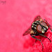 Red Eyes (Housefly Macro) by Bright Ideas with Chan Udarbe