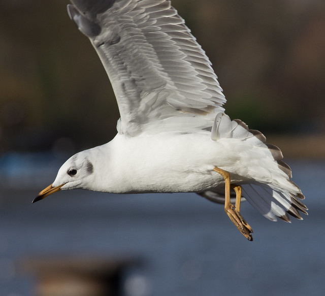 black headed gull in flight close up