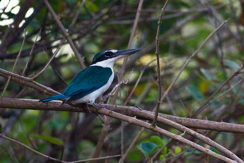 Collared KIngfisher ?
