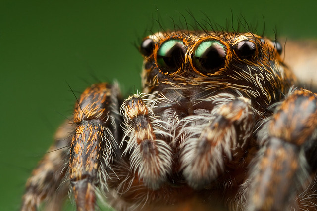 Jumping Spider 5