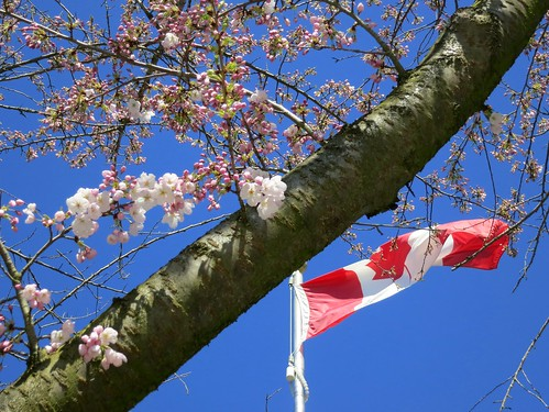 Canadian cherry blossoms