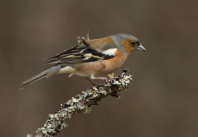 chaffinch in wind