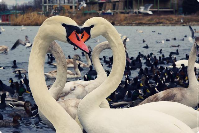swans 24-2-12
