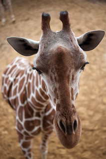 Why is a giraffe's neck so long?