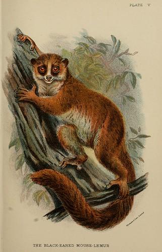 013-Lemur de orejas negras-A hand-book  to the primates-Volume 1-1896- Henry Ogg Forbes
