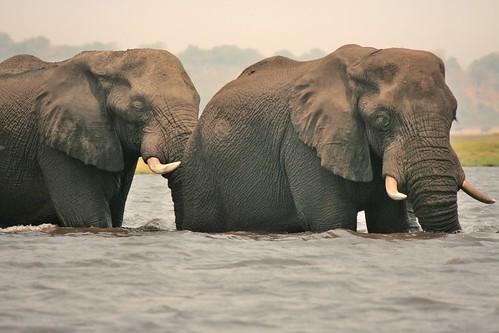 Elefanti al guado in  un braccio del fiume Chobe (Botswana)