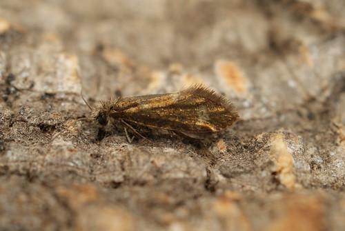 Eriocrania subpurpurella