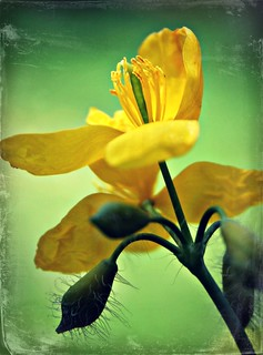 Joy~ ( Greater Celandine )