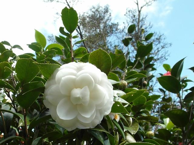 白的山茶花