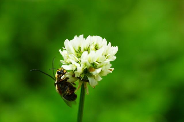 Trifolium repens シロツメクサ