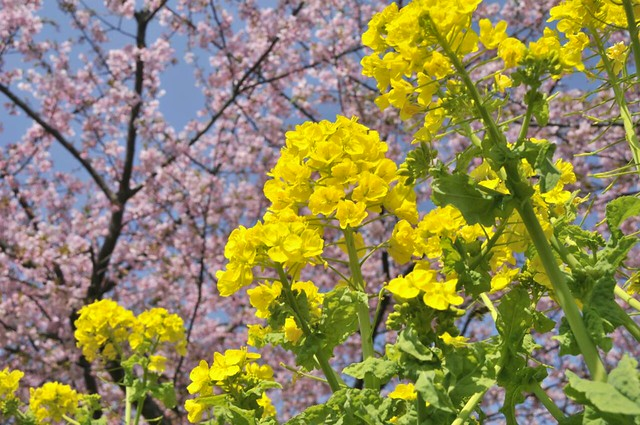 菜の花と桜と