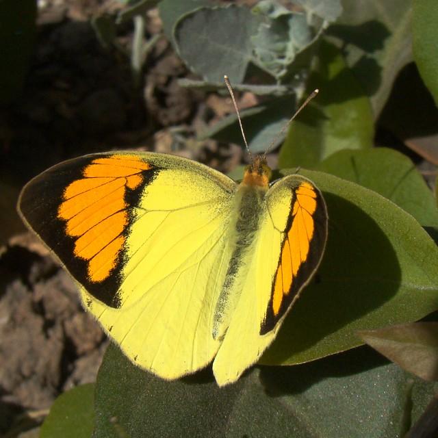 Бабочки №86 - Оранжево-жёлтая Бабочка (ixias pyrene)