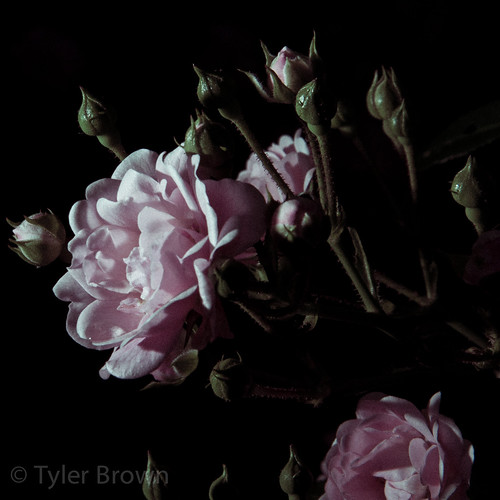 camera pink 2 flower love colors beauty contrast project dark al high nikon huntsville pics flash may off catchy 2012 primrose sb800 366 d90 strobist