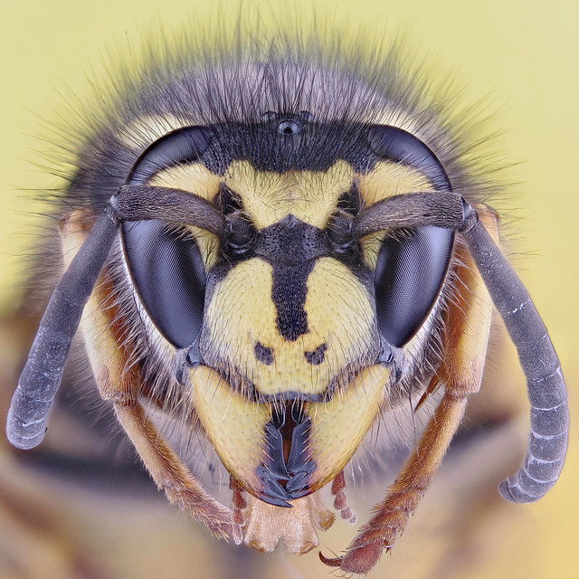 "Wasp (""German Wasp"")"