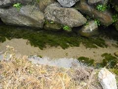乾淨無毒、不深的靜水域是大田鱉最愛的棲地。圖為八煙水圳。