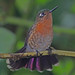Tyrian Metaltail - Photo (c) Jerry Oldenettel, some rights reserved (CC BY-NC-SA)