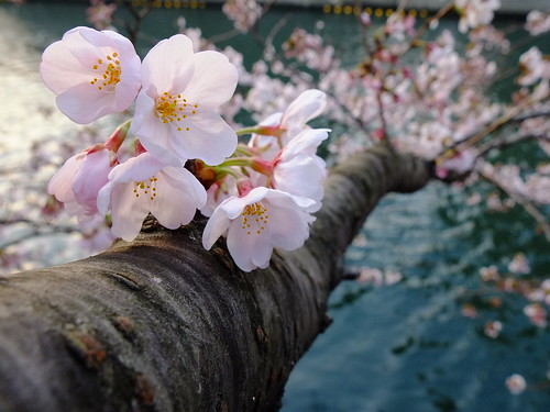 無料写真素材, 花・植物, 桜・サクラ, 樹木, 風景  日本