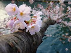 [フリー画像素材] 花・植物, 桜・サクラ, 樹木, 風景 - 日本 ID:201204102000