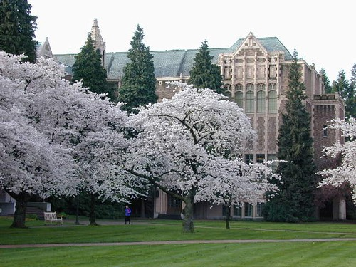 UW - Cherry Trees