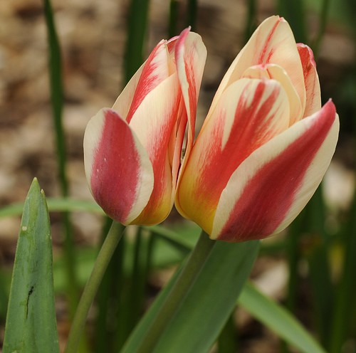 Tulips by Andy Pritchard - Barrowford