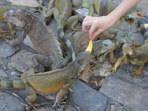 Iguanas 21