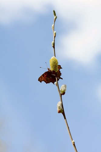 Comma Willow 26409