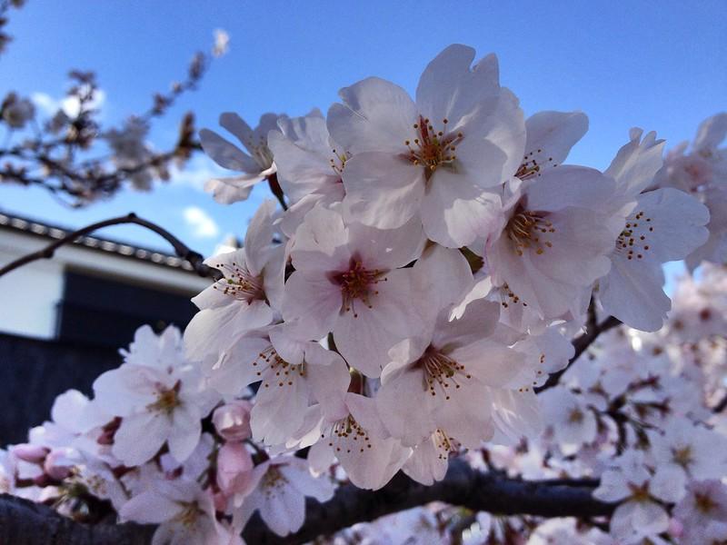 Sakura @ Daito