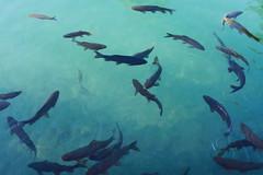 The Fish of Balikligöl