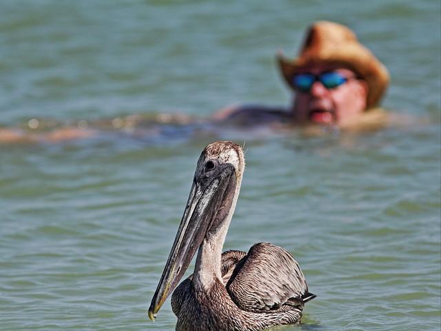 Brown Pelican 20140423